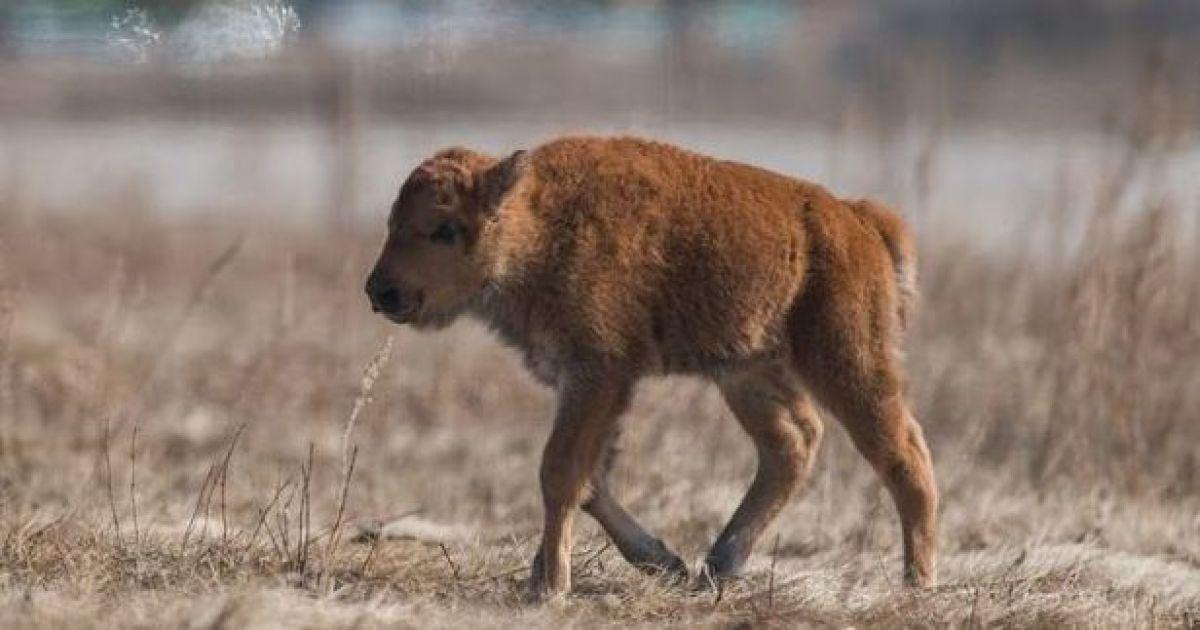 Історичний момент: у канадському парку спадщини Ванускевін вперше від 1876 року народилося дитинча бізона
