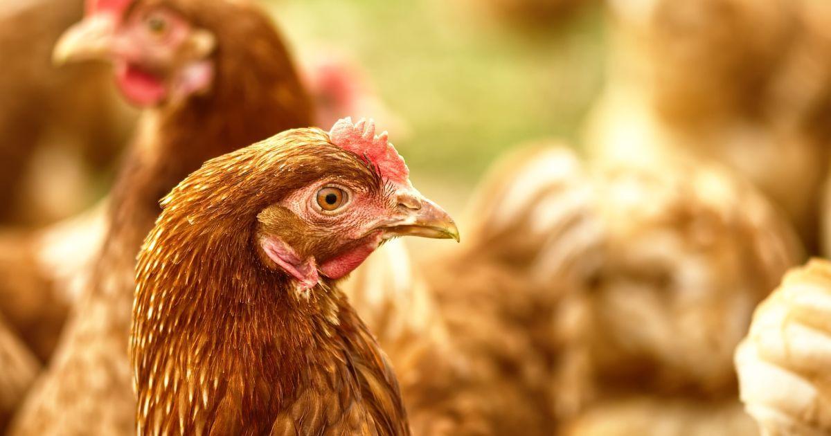 Під Києвом виявили пташиний грип: одразу в кількох селищах ввели карантин