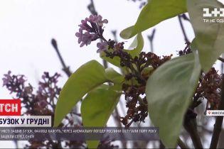 Зимнее цветение: в Николаеве распустилась сирень