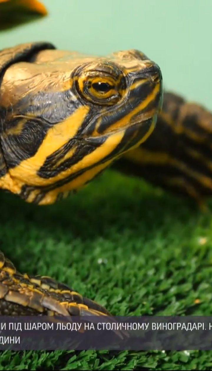 """Частину черепах, які мало не замерзли у столичному озері, вже """"всиновили"""" добрі люди"""
