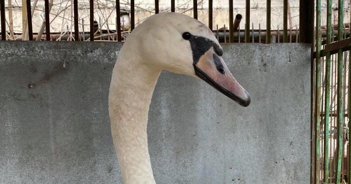 В Ровенской области от морозов погибли лебеди
