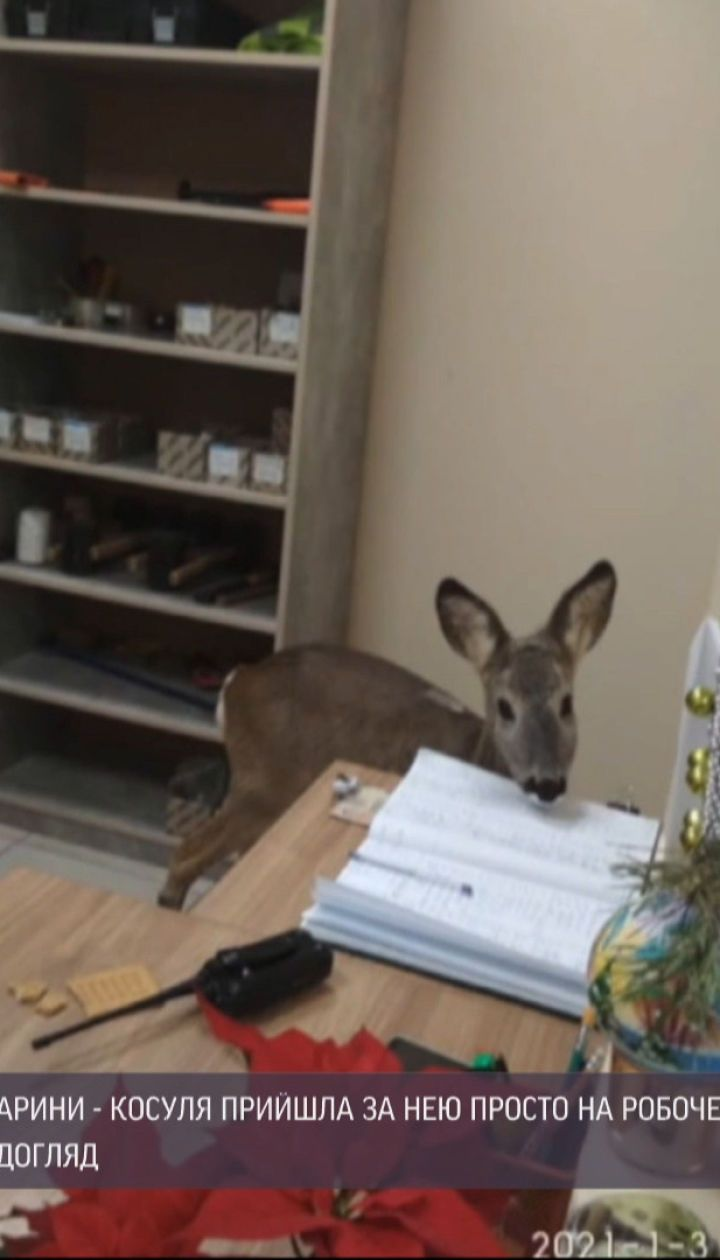 Дика тварина в середмісті: вулицями Житомира розгулювало дитинча козулі