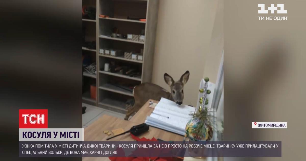 Дика тварина у місті: у Житомирі дитинча косулі гуляло вулицями та зайшло до офісу (відео)