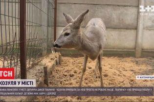 Судьба маленькой косули: откуда на улице Житомира прибежало дикое животное