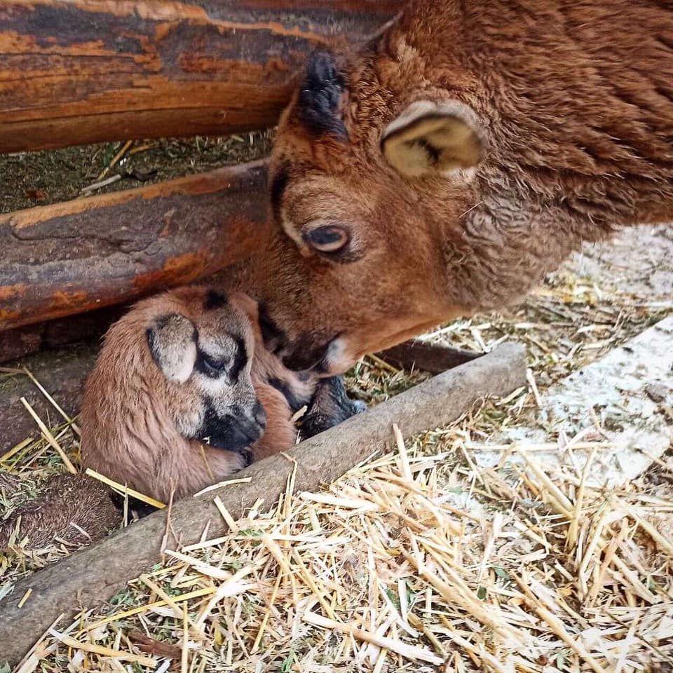В Одеському зоопарку народилися камерунські вівці_1