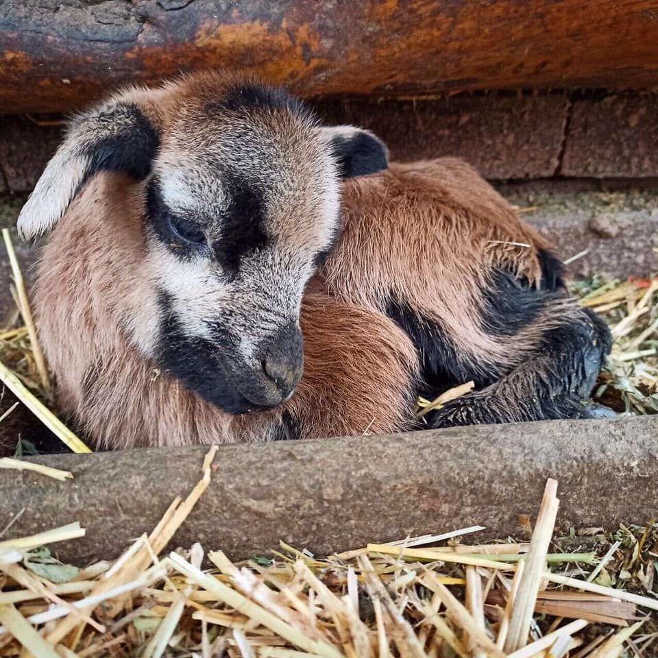 В Одеському зоопарку народилися камерунські вівці_3