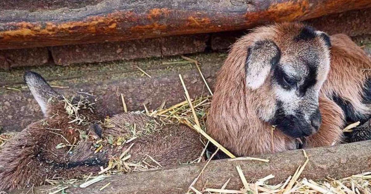 Перші дитинчата 2021-го року: в Одеському зоопарку народилися камерунські вівці