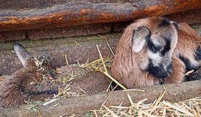 Первые детеныши 2021-го года: в Одесском зоопарке родились камерунские овцы