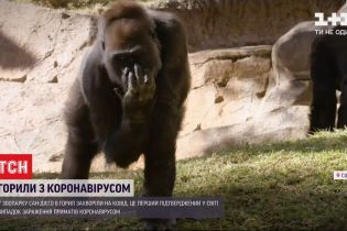 Позитивний ПЛР-тест в горил: 8 приматів з Каліфорнії захворіли на COVID-19
