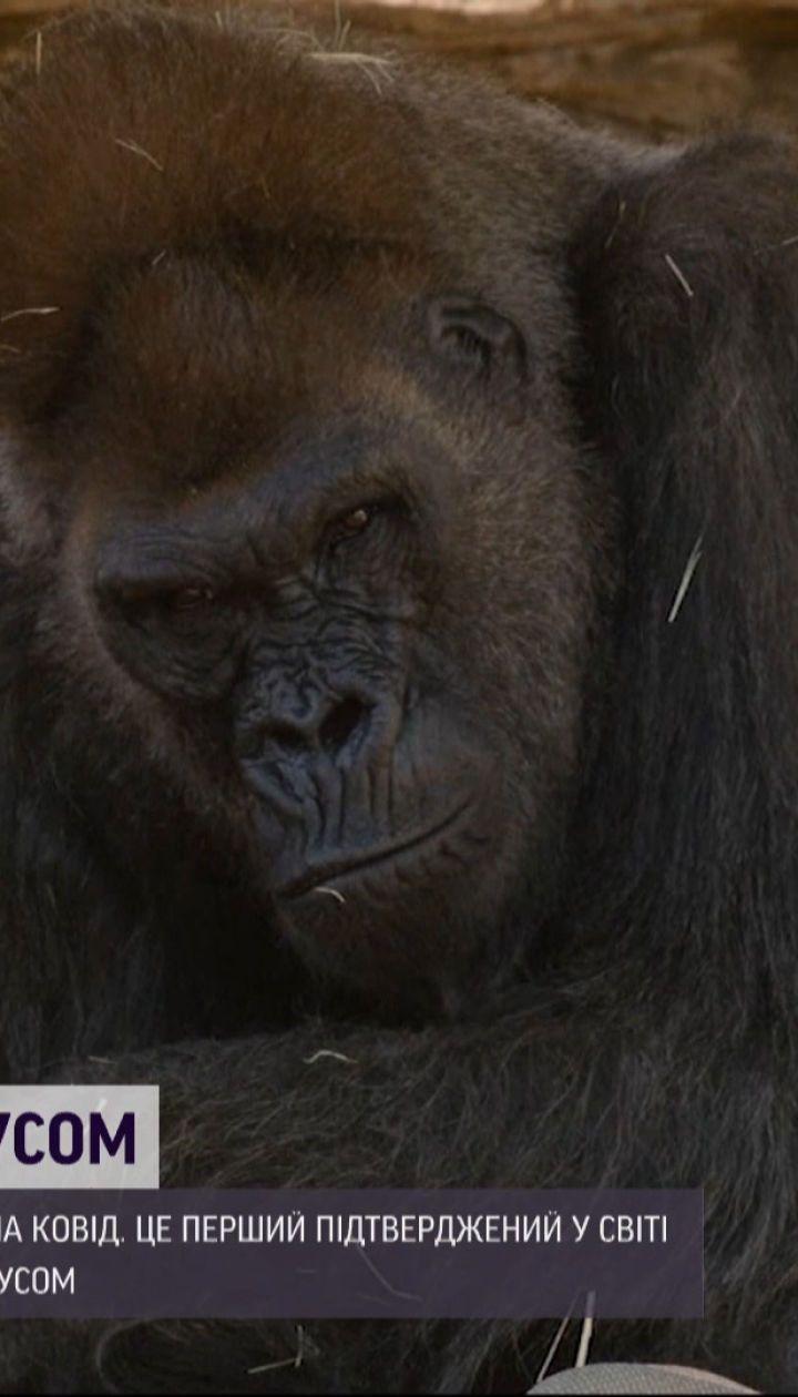 Первый в мире случай: в американском зоопарке гориллы заболели коронавирусом