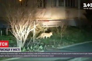 У Мережу потрапило відео, як лисиця вільно розгулює серед вінницьких багатоповерхівок