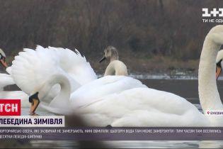 На Буковине 200 лебедей-шипунов оказались под угрозой