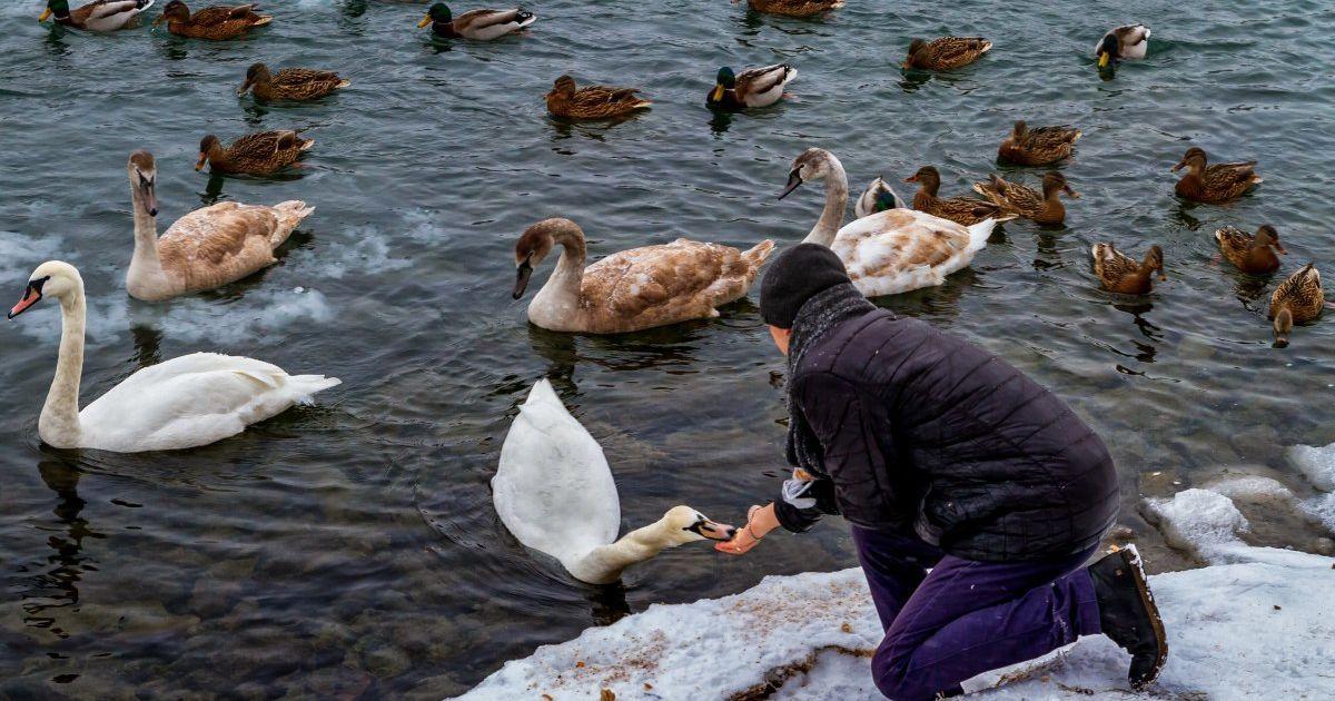 В Украине от морозов страдают лебеди и утки: почему прикормка зерном и хлебом может им навредить