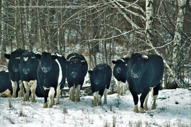 Здичавілі корови неподалік Чорнобиля: як виживають раніше свійські тварини (відео)