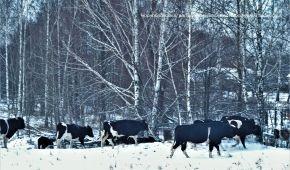 Уникальное стадо одичавших коров: в Чернобыльском заповеднике рассказали о происхождении животных