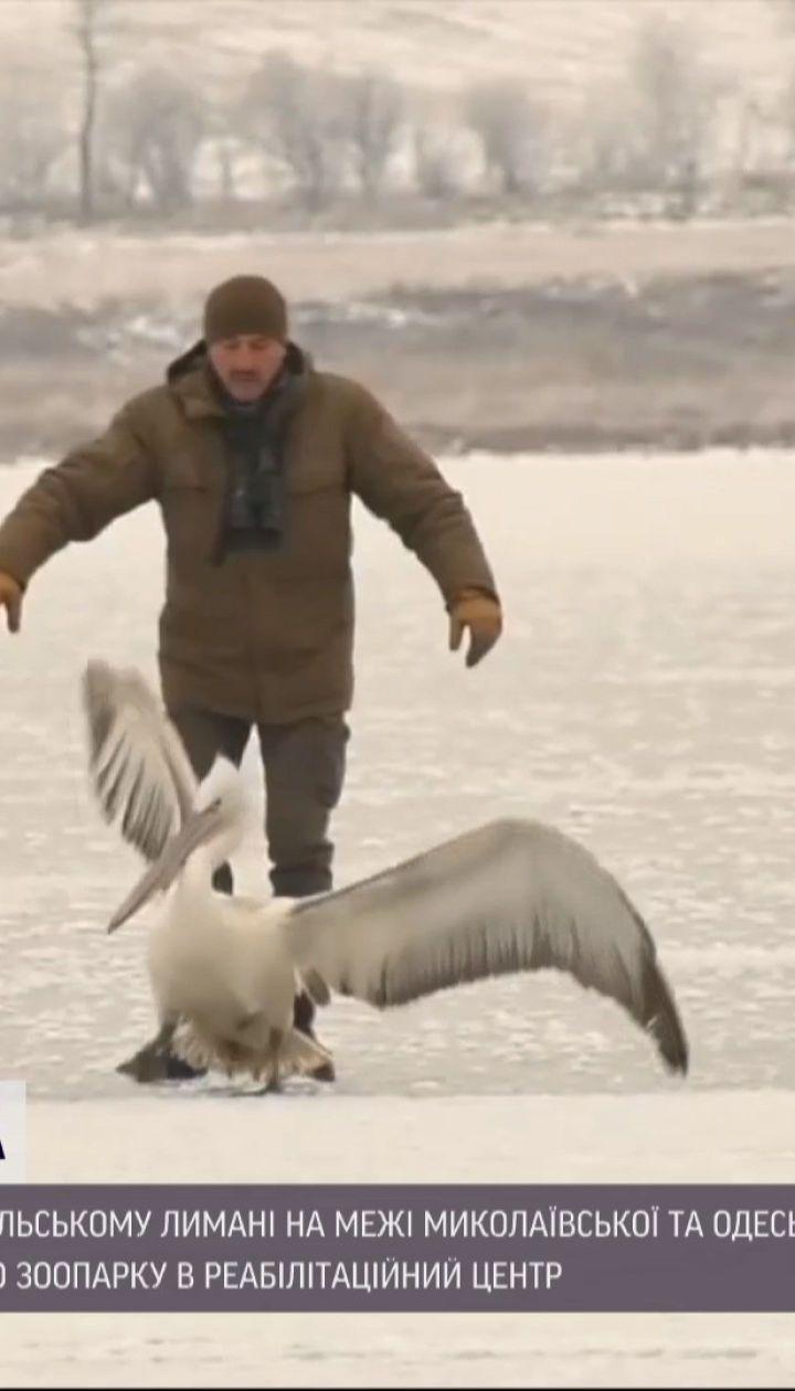 На Тилігульському лимані врятували рідкісного пелікана