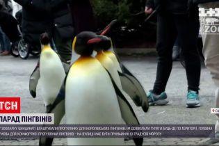 У зоопарку Цинцинаті влаштували прогулянку для королівських пінгвінів