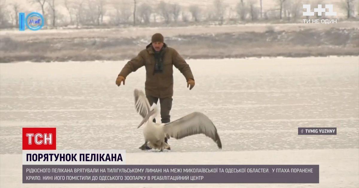 Ганялися по лиману за птахом: в Одеській області врятували рідкісного пелікана (відео)