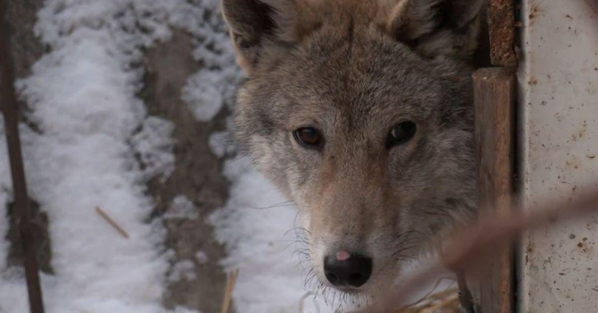 В Хмельницкой области волки держат в страхе сразу несколько сел