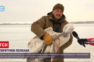 На Тилігульському лимані врятували пелікана з пораненим крилом