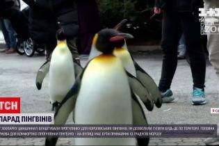 У американському зоопарку влаштували прогулянку для королівських пінгвінів