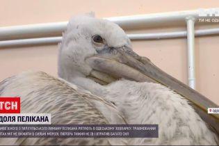 В Одесском зоопарке спасают обессиленного краснокнижного пеликана