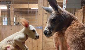 В Нью-Йорке родился белый кенгуру с чрезвычайно редким заболеванием