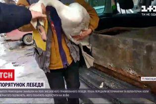 Жителі Рівненської області врятували травмованого лебедя