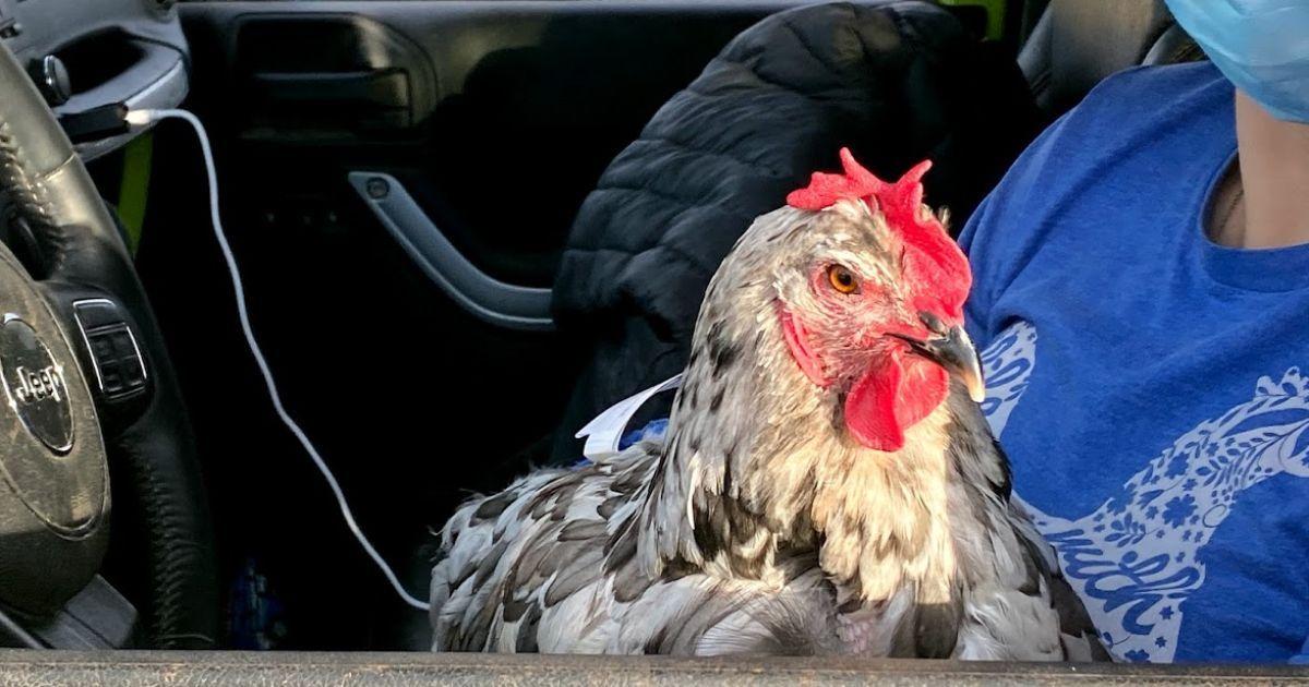 Американка потратила 10 тысяч долларов на лечение домашней курицы, которой сделали операцию на сердце