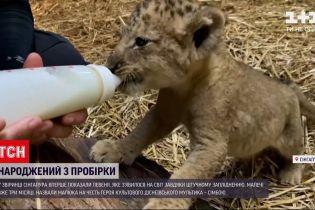 В зверинце Сингапура впервые показали львенка, родившегося из пробирки