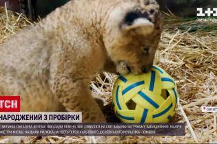 В зверинце Сингапура показали львенка, который появился благодаря искусственному оплодотворению