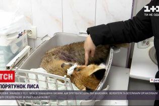 Небайдужі розгорнули спецоперацію з порятунку лиса Микити