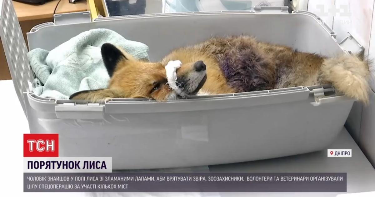"""""""Плачет, как ребенок"""": неравнодушные развернули операцию по спасению лиса Никиты, которого нашли со сломанными лапами"""