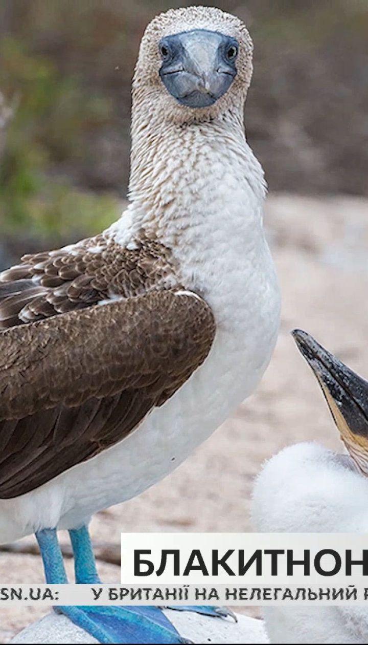 """Цікаві факти про морського птаха блакитноногу олушу – """"Поп-наука"""""""