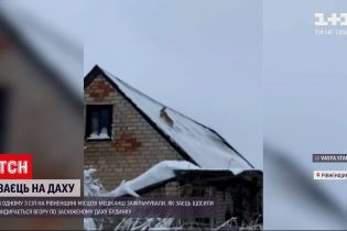 У Рівненській області наляканий заєць намагався видертись на дах будинку