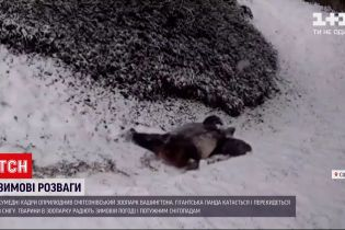 Працівники американського зоопарку зафільмували панду під час забавок в снігу