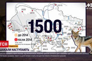 Почему север и центр Украины становятся местом проживания шакалов