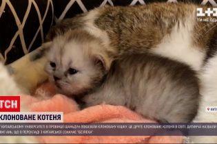 В китайском университете показали клонированного котенка