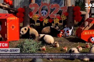У китайському розпліднику гіганстьких панд показали одразу 10 наймолодших ведмежат
