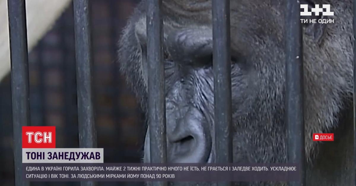 В зоопарку Києва захворіла знаменита горила Тоні: як рятують його життя