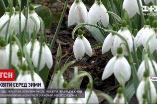 Новини України: в Одесі серед зими розквітли проліски