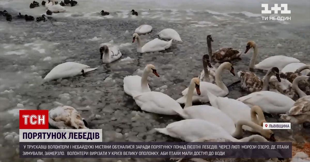 Не дали загинути: у Львівській області волонтери врятували понад пів сотню лебедів (фото, відео)