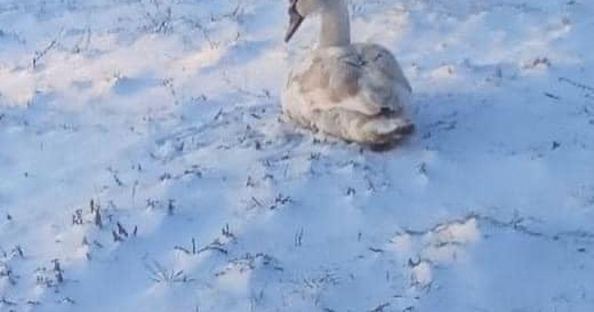 У Львівській області доводиться рятувати сотні лебедів, яких люди привчили до харчів