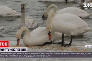 Новости Украины: в Черновцах подкармливают сотни лебедей
