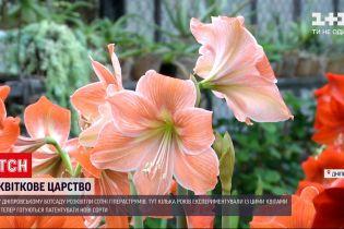 Новини України: у Дніпрі розквітли сотні гіпеаструмів