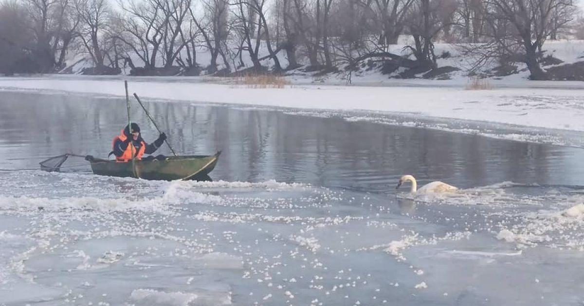 Оказался в ледяной ловушке: в Одесской области спасли лебедя (фото)