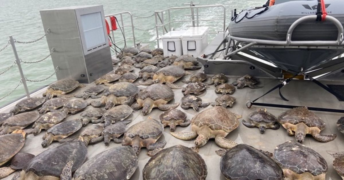 В Техасе снова отпустили в дикую природу сотни черепах, которых спасали от холода