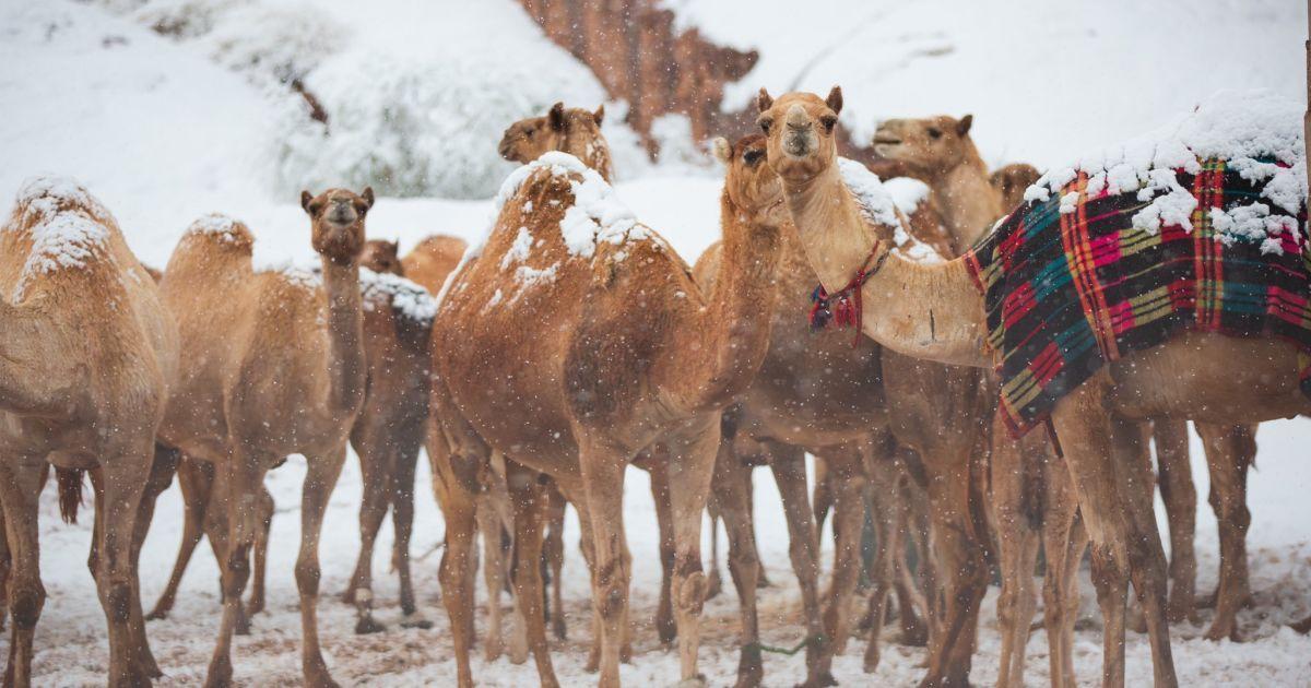 Верблюды в шоке: в Саудовской Аравии повалил снег