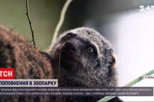 Новини світу: у Вроцлаві показали рідкісного малюка ведмежого кускуса