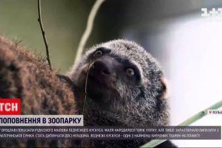Новости мира: во Вроцлаве показали редкого малыша медвежьего кускуса